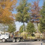 tree-relocation-3