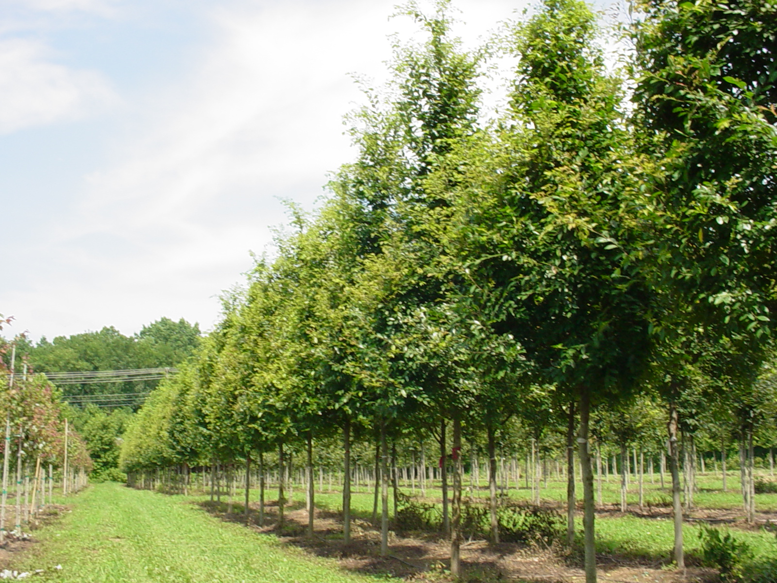 Metrolina landscape catawba tree farm for Landscape trees